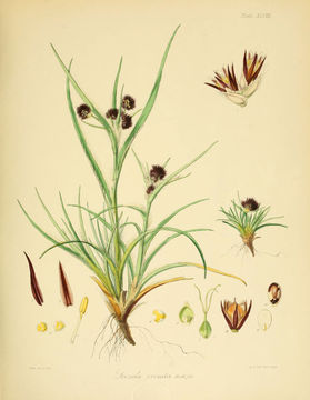 Image of <i>Luzula crinita</i> Hook. fil.