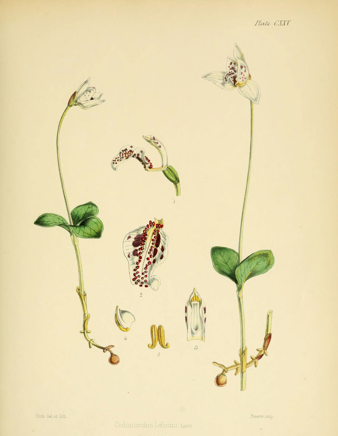 Image of <i>Codonorchis lessonii</i> (d'Urv.) Lindl.