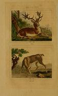 Image of Red Deer