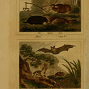 Image of <i>Bathyergus suillus</i> (Schreber 1782)