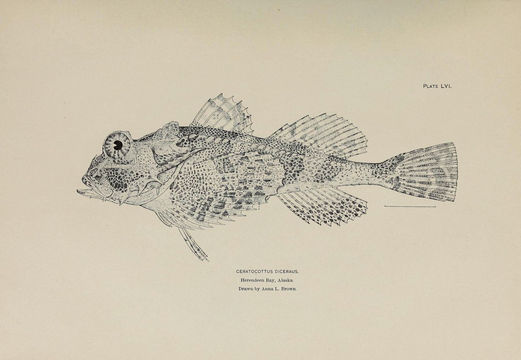 Image of Antlered sculpin