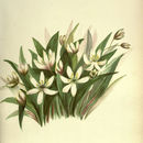 Image of Wood lily