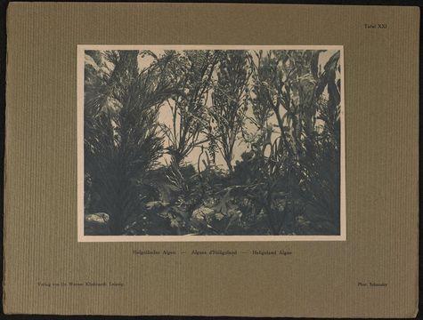 Image of <i>Halidrys siliquosa</i>
