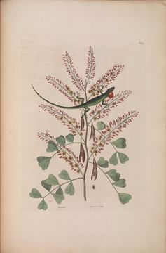 Image of bloodwoodtree