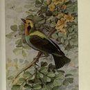 Image of <i>Chlorochrysa nitidissima</i> Sclater & PL 1874