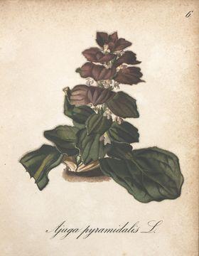 Image of Bugleweed