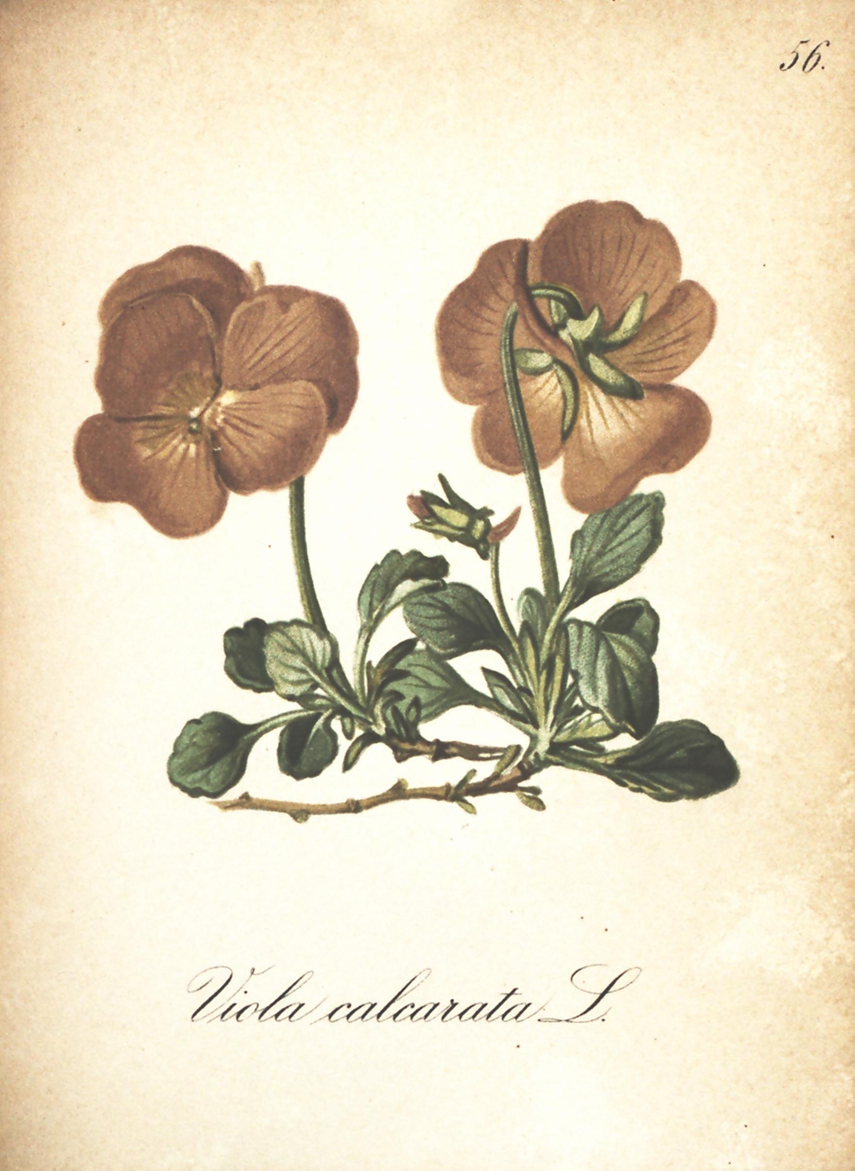 Image of Gesporntes Veilchen