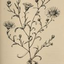 Image of hayfield tarweed