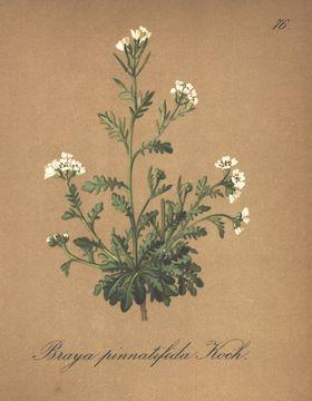 Image of <i>Murbeckiella pinnatifida</i> (Lam.) Rothm.