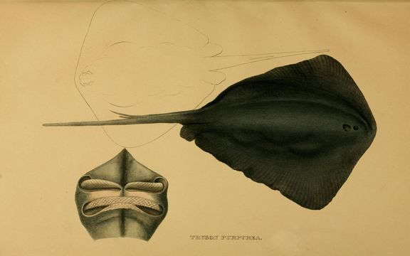 Image of Pteroplatytrygon