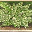 Image of <i>Schismatoglottis motleyana</i> (Schott) Engl.