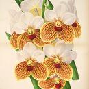 Image of <i>Euanthe sanderiana</i> (Rchb. f.) Schltr.