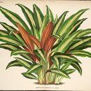 Image of <i>Boesenbergia ornata</i> (N. E. Br.) R. M. Sm.