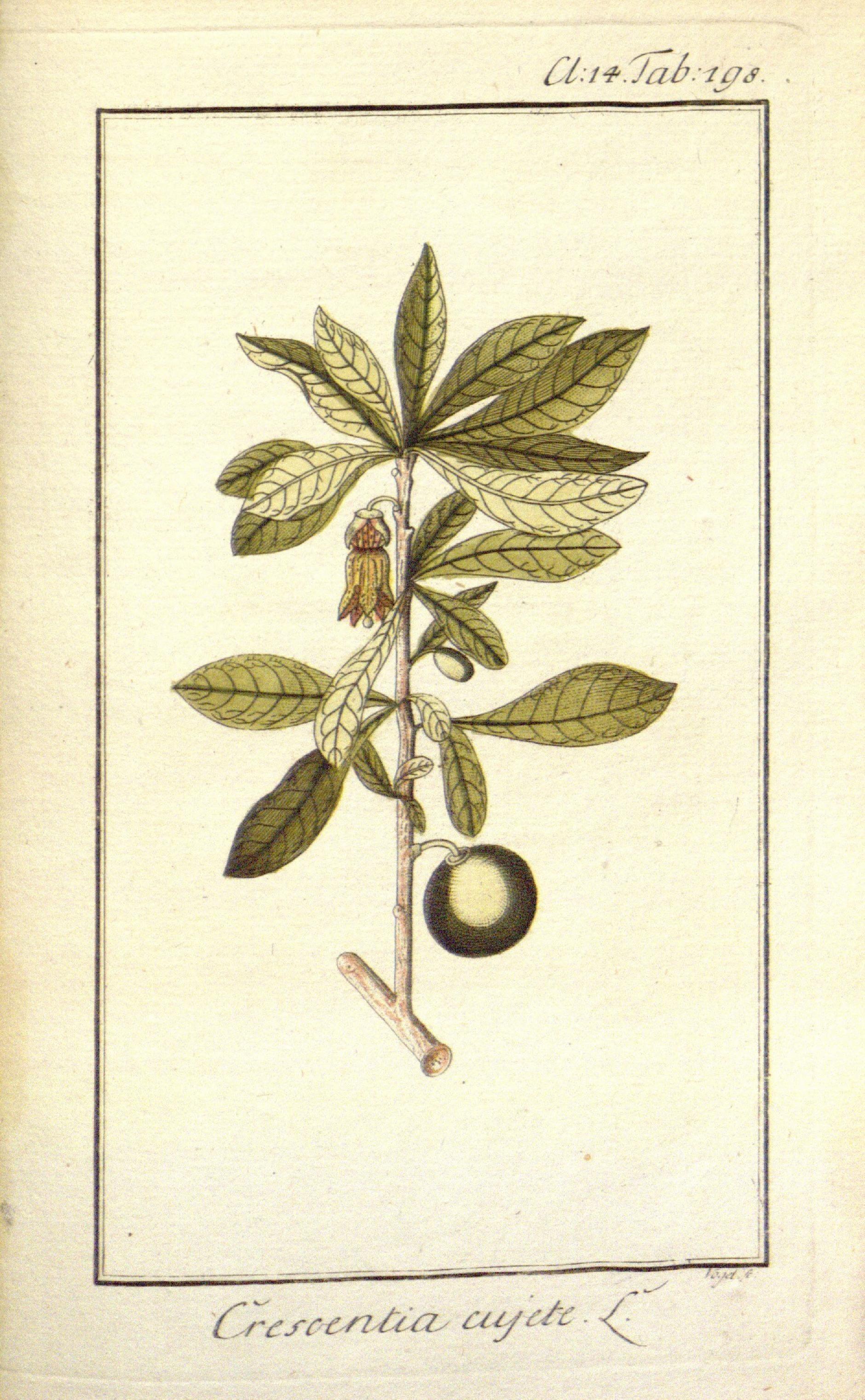 Image of crescentia