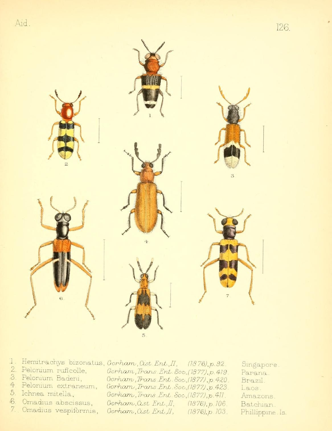 Image of <i>Hemitrachys bizonatus</i> Gorham 1876