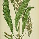 Image of deer fern
