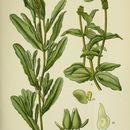 Image of Perfoliate Pondweed