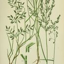 Image of wood meadow-grass