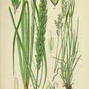 Image of European beachgrass