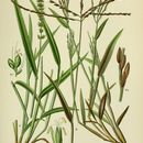 Image of bristly foxtail