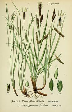 Image of heath sedge
