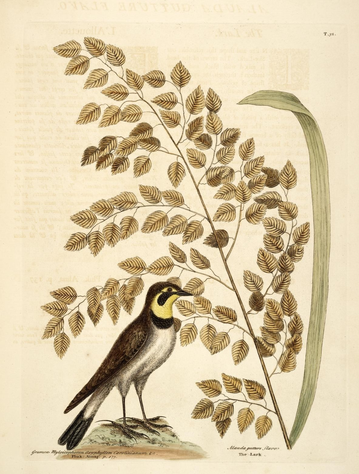 Image of horned lark