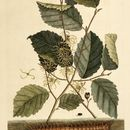 Image of American witchhazel