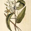Image of Mexican vanilla