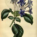 Image of <i>Hindsia violacea</i> Benth. ex Lindl.