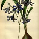 Image of <i>Conanthera trimaculata</i> (D. Don) F. Meigen