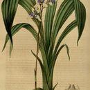 Image of <i>Warreella cyanea</i> (Lindl.) Schltr.