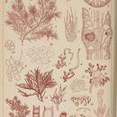 Image of <i>Gloiosiphonia capillaris</i>