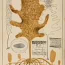 Image of <i>Ecklonia stolonifera</i>
