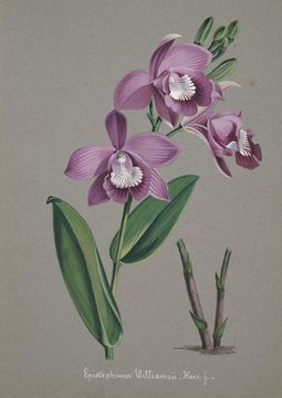 Image of <i>Epistephium williamsii</i> Hook. fil.