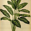 Image of <i>Dieffenbachia antioquensis</i> Linden ex Rafarin