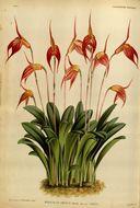 Image of <i>Masdevallia amabilis</i> Rchb. fil. & Warsz.