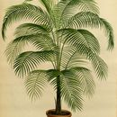 Image of miniature coconut palm