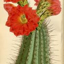 Image of Mojave mound cactus