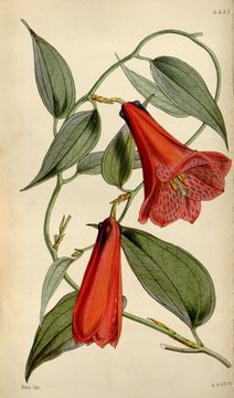 Image of Lapageria