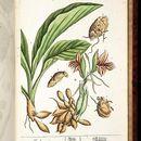 Image of white turmeric