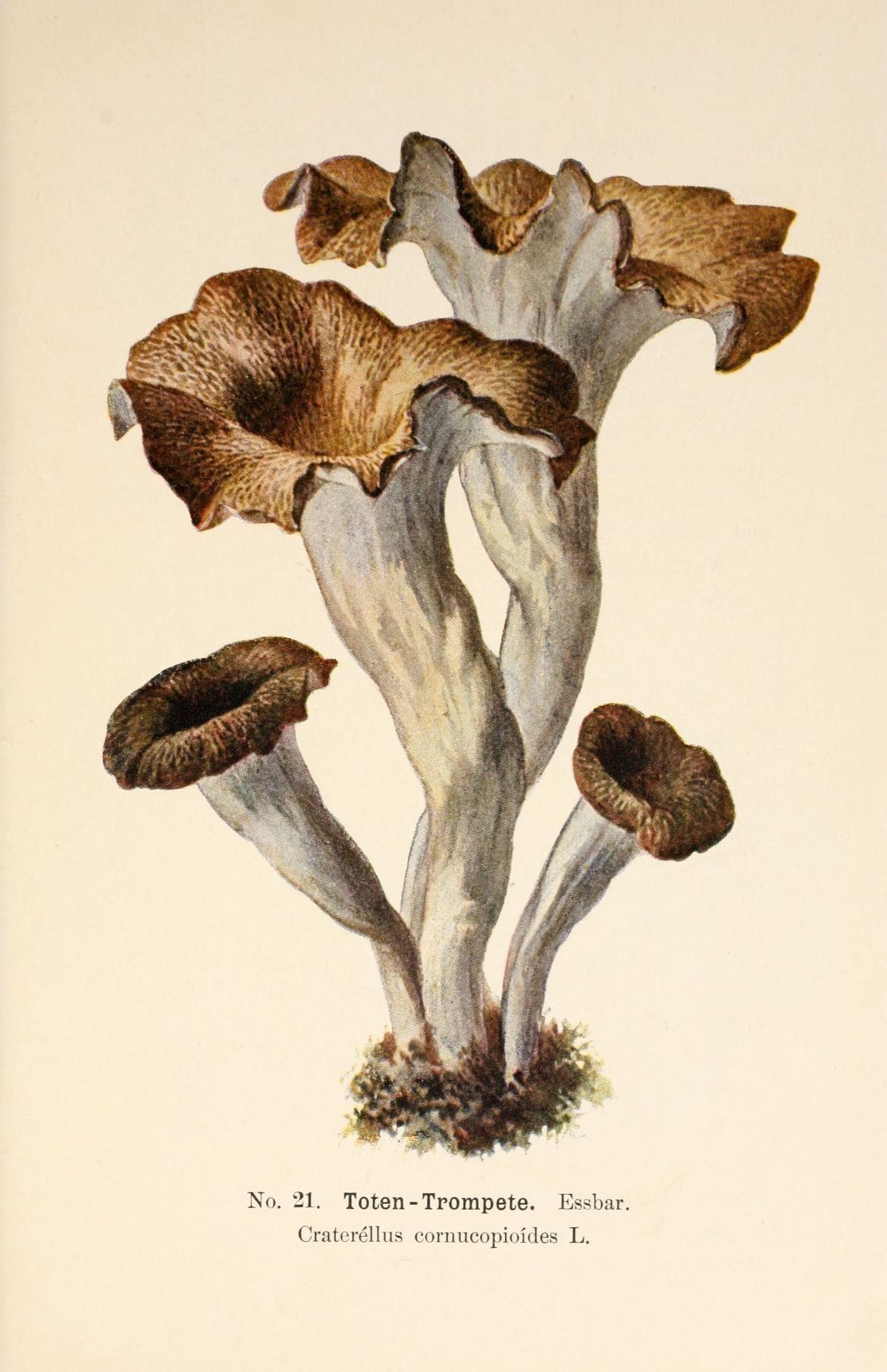 Image of Craterellus