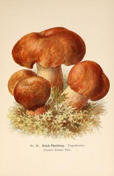 Image of brittlegills