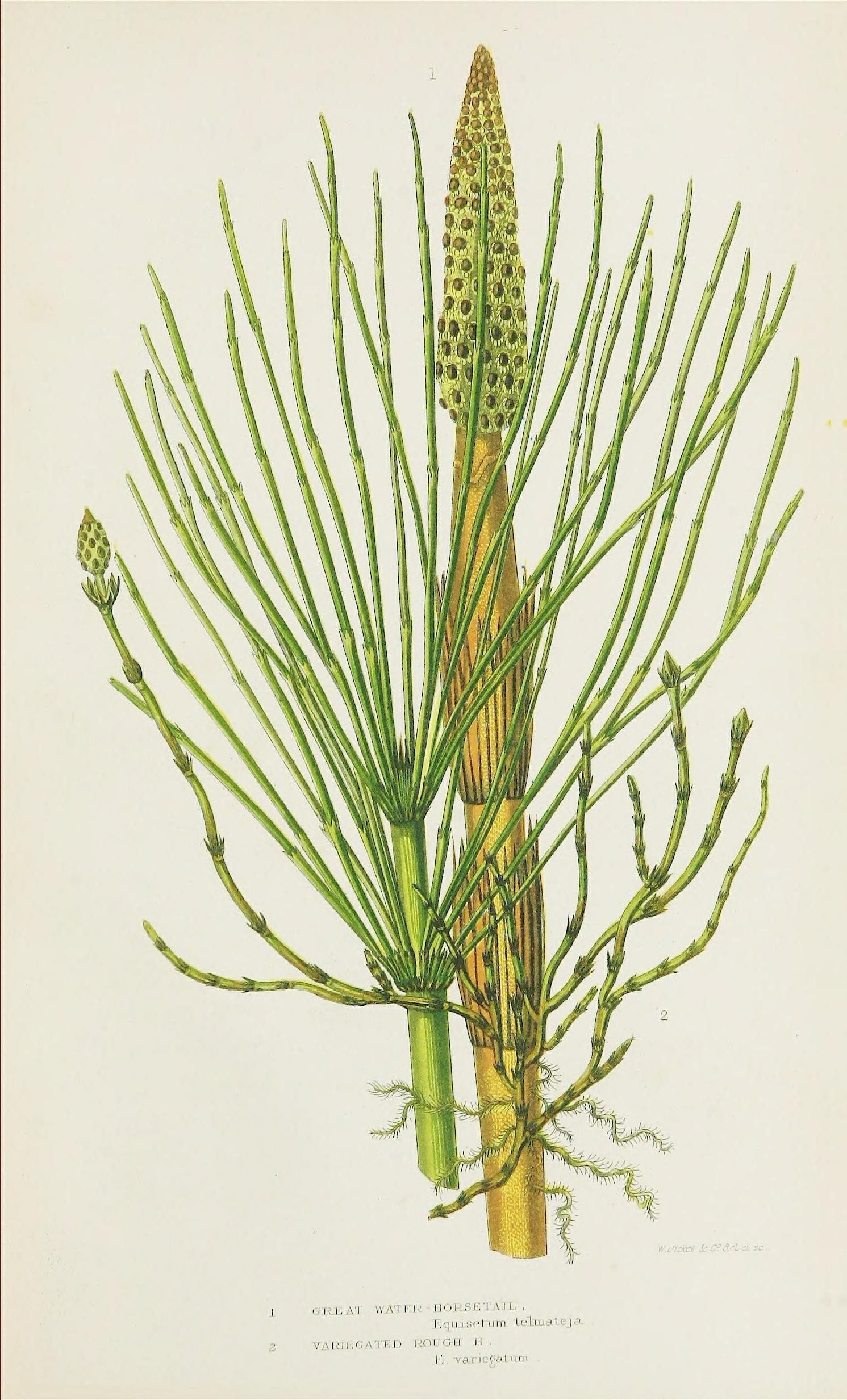 Image of Great Horsetail