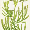 Image of Stag's-horn Clubmoss