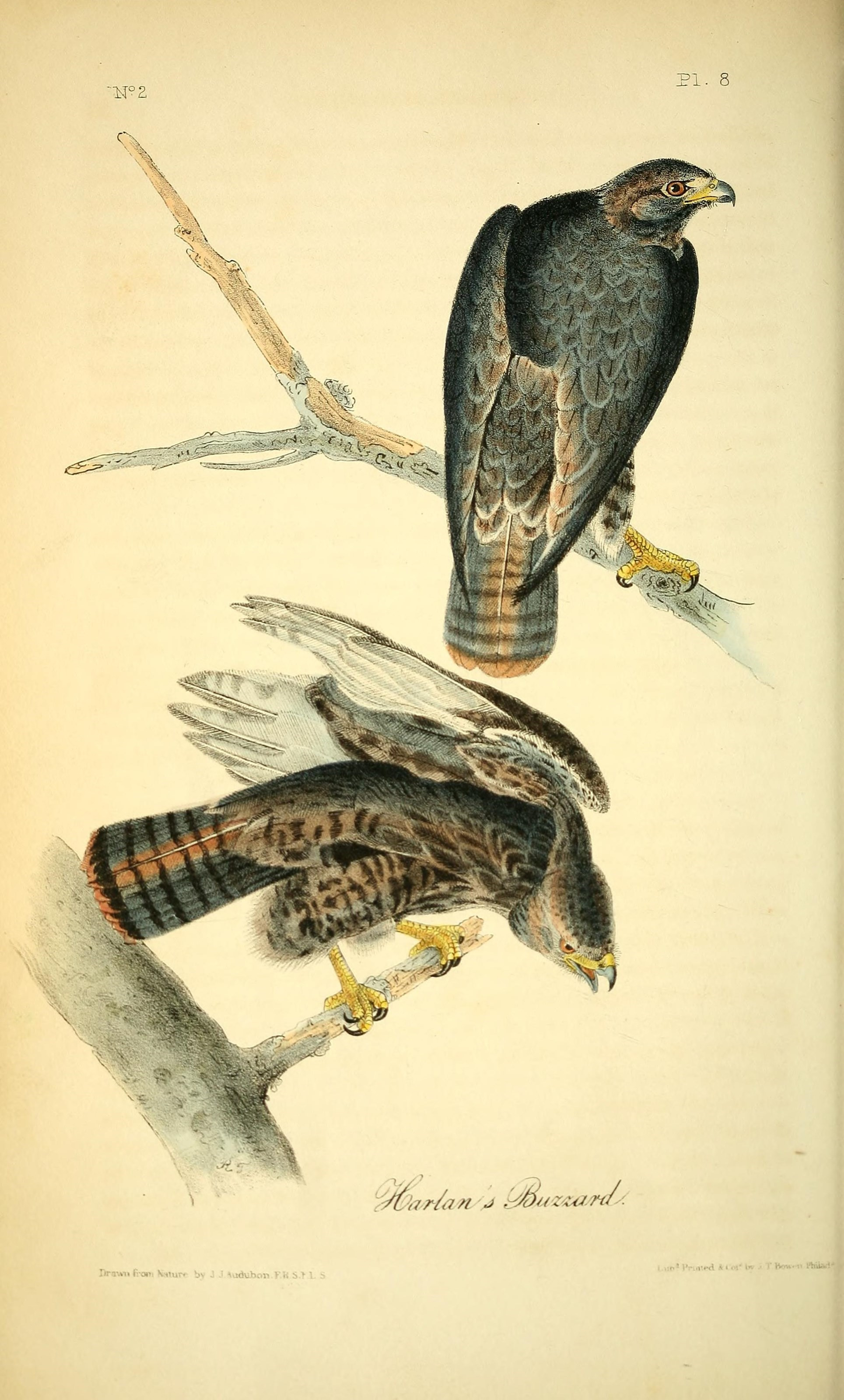 Image of Red-tailed hawk
