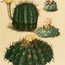 Image of <i>Echinopsis aurea</i> Britton & Rose