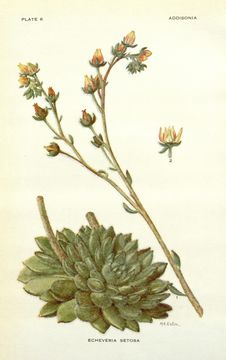 Image of echeveria