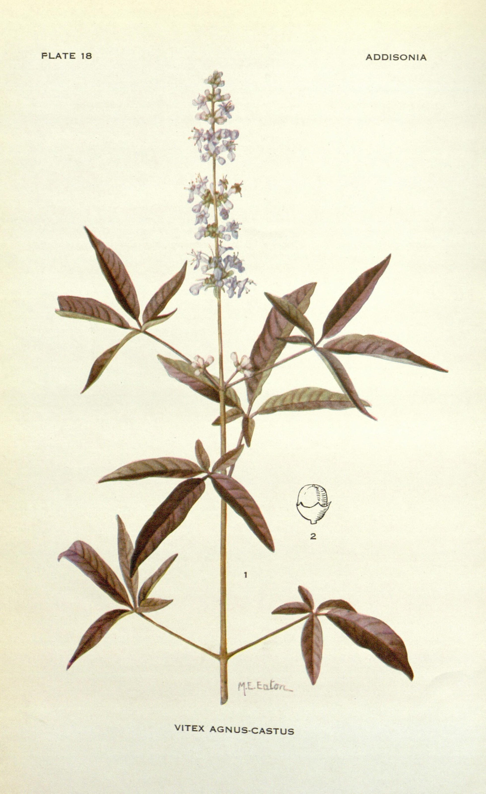 Image of chaste tree