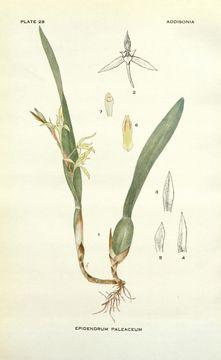 Image of <i>Nidema paleaceum</i>