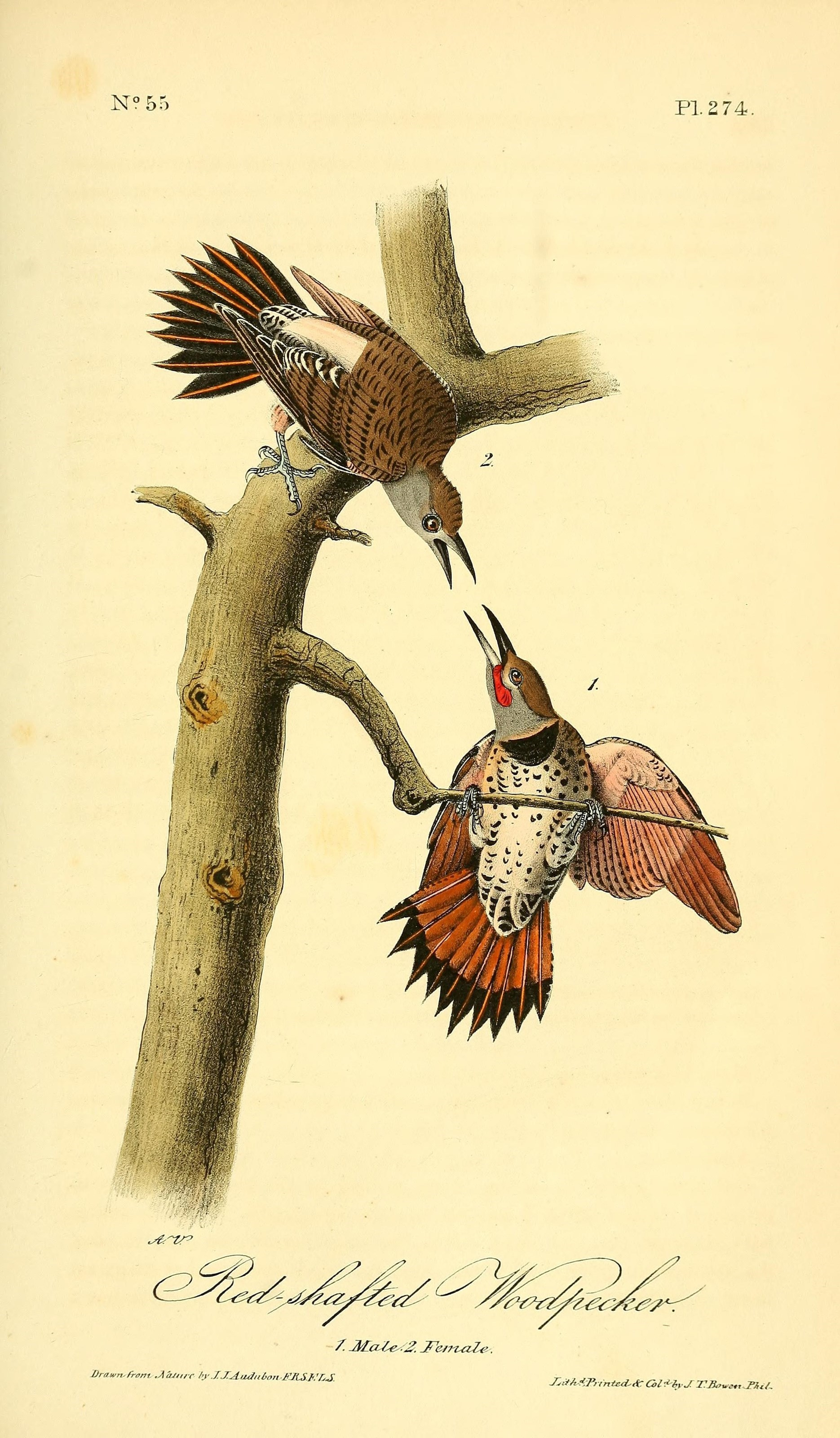 Image of Colaptes Vigors 1825